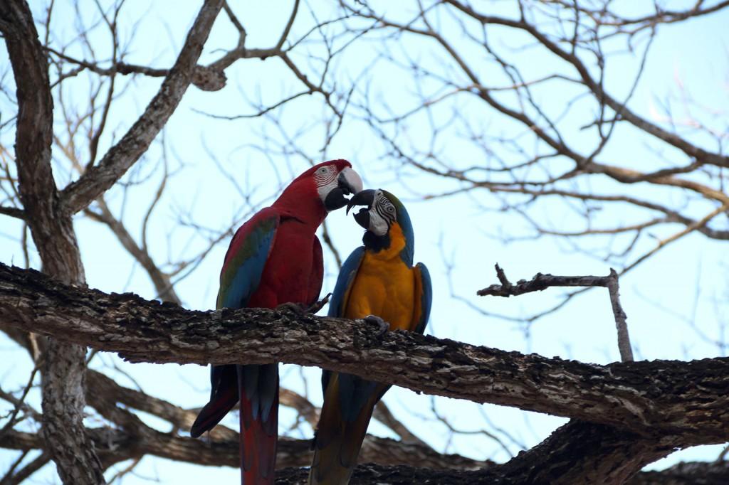 Araras namorando no Balneário Municipal