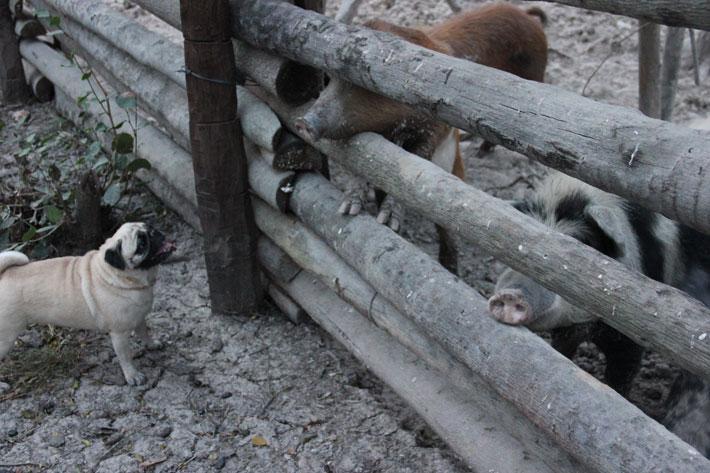 Bubba no chiqueiro da fazenda