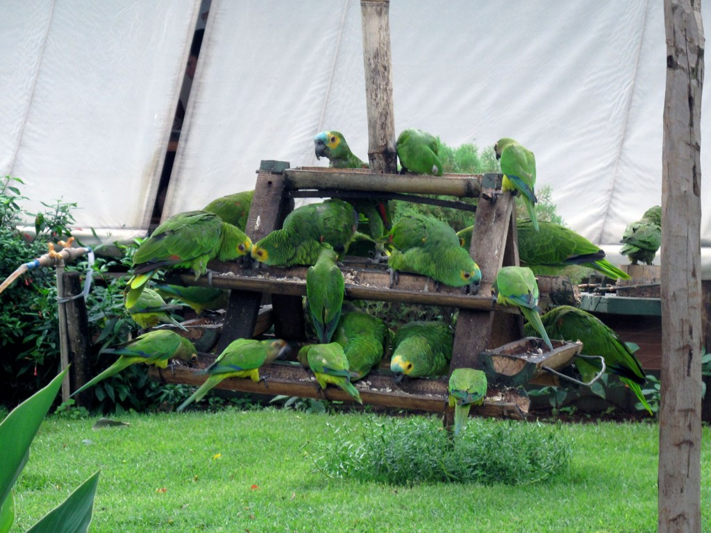 Papagaios no Receptivo do Recanto Ecológico Rio da Prata
