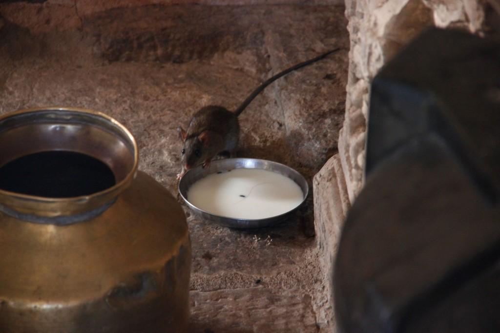 Ratinho no Templo Samadhisvara