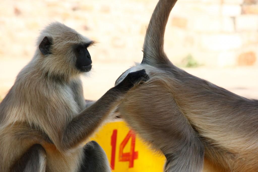 Macaca tirando piolho da bunda do macaco