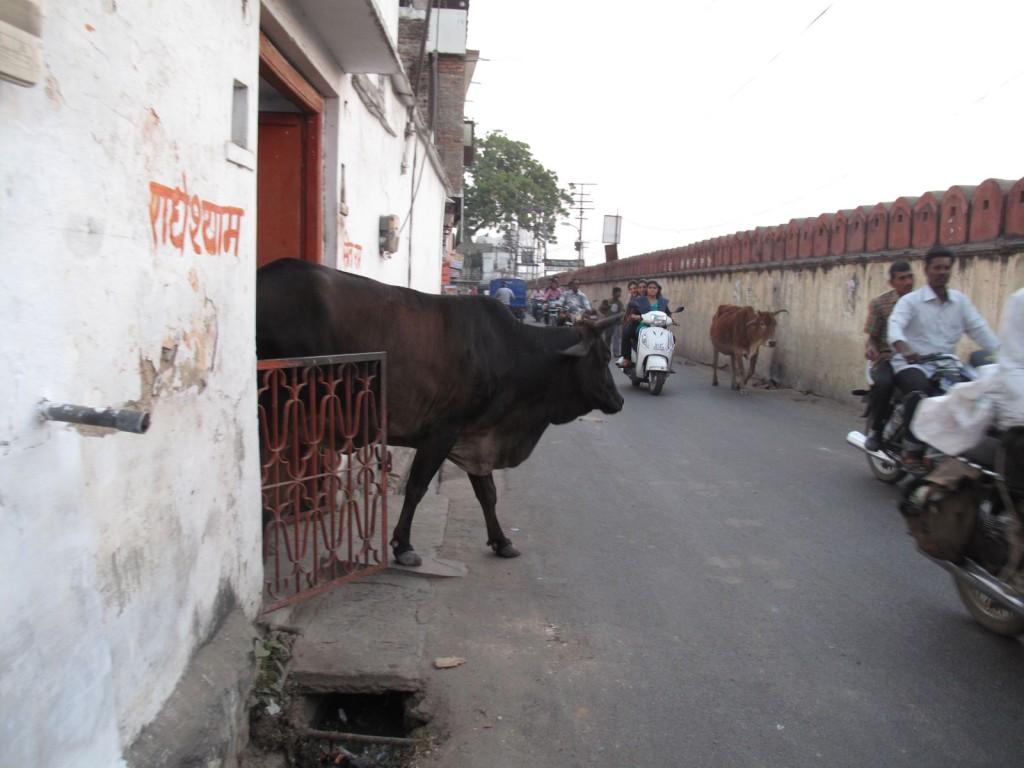 Vaca no trânsito de Udaipur