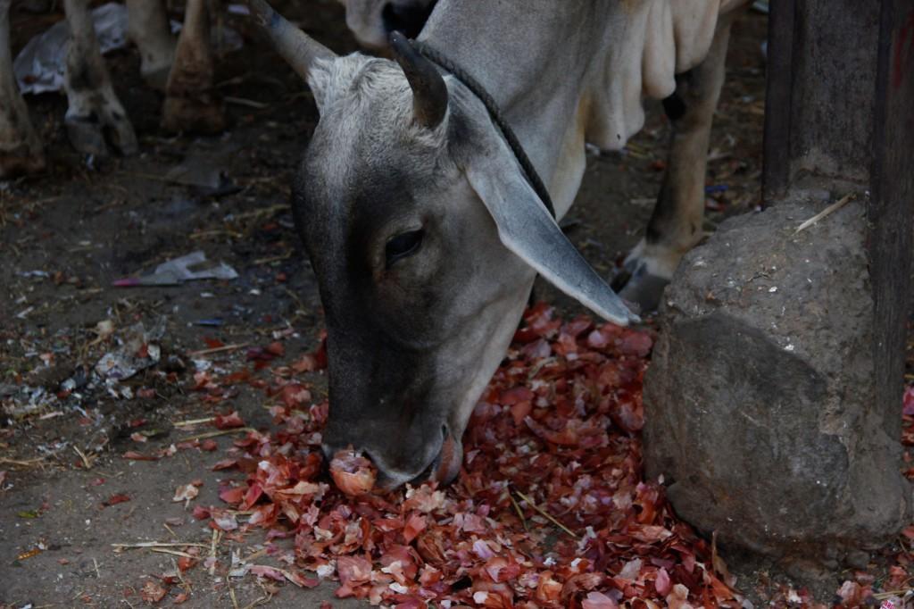 Vaca comendo do lixo nas ruas