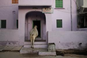 As vacas da Índia