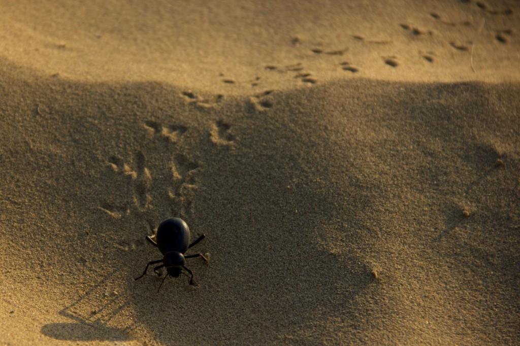 Besouro no meio do deserto