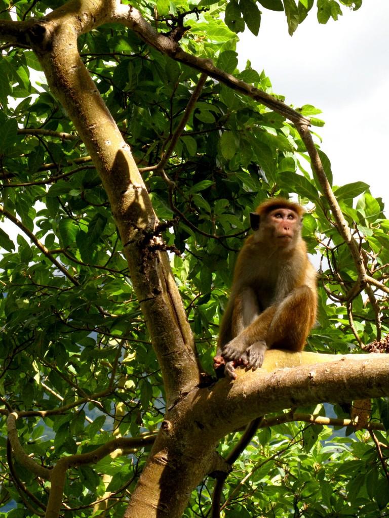 Macaco próximo a cachoeira de Bambaragama