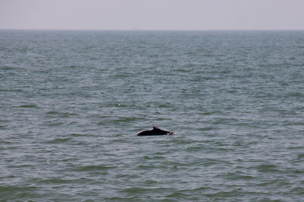 Golfinho avistado da praia, em Kerala