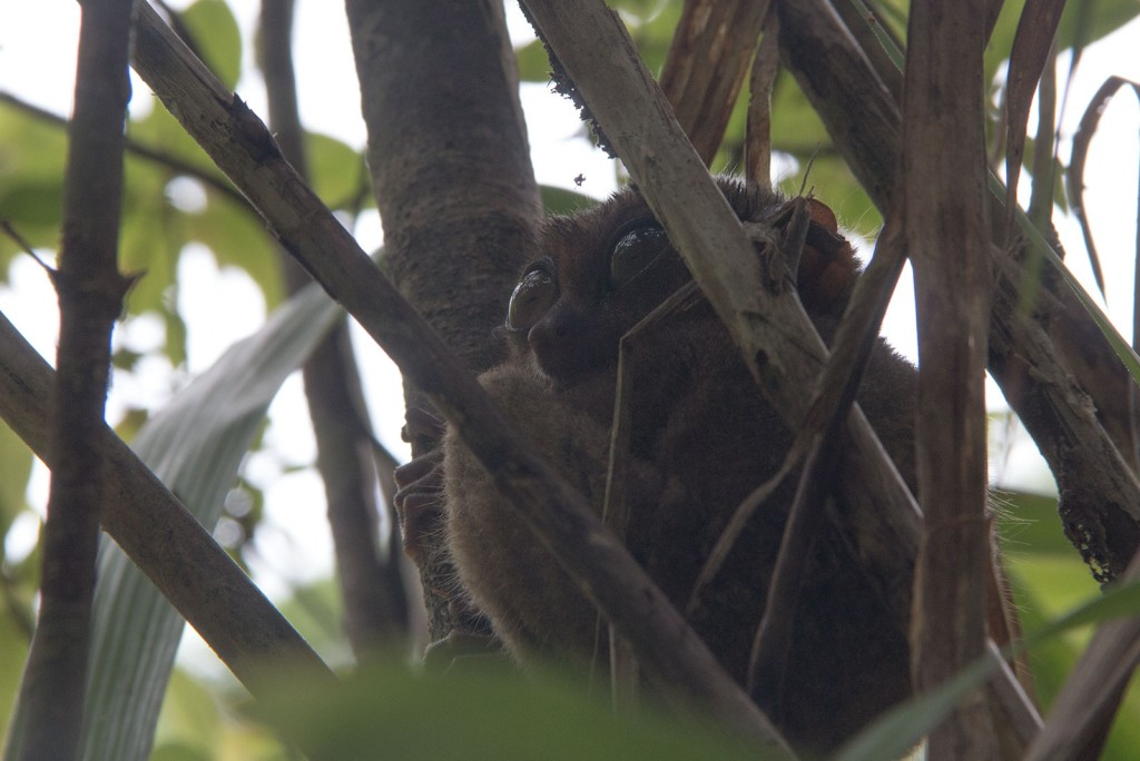 Tarsier, o menor primata do mundo
