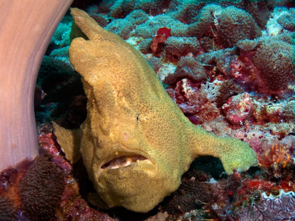 Frog fish gigante