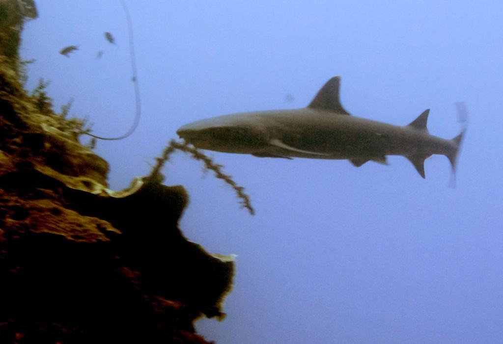 Tubarão White Tip