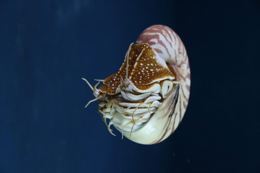 Nautilus no SEA Aquarium