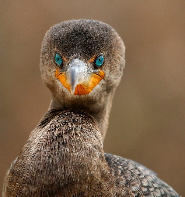 Direct Eye Contact with a Cormorant. Foto Sandy Scott